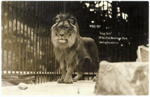 wellington-zoo-photograph-king-dick